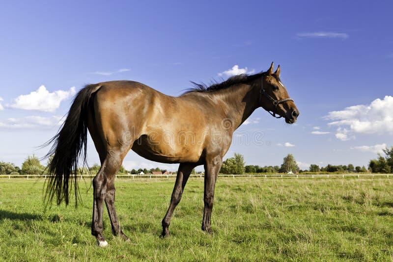 Лошадь на лужке стоковое фото