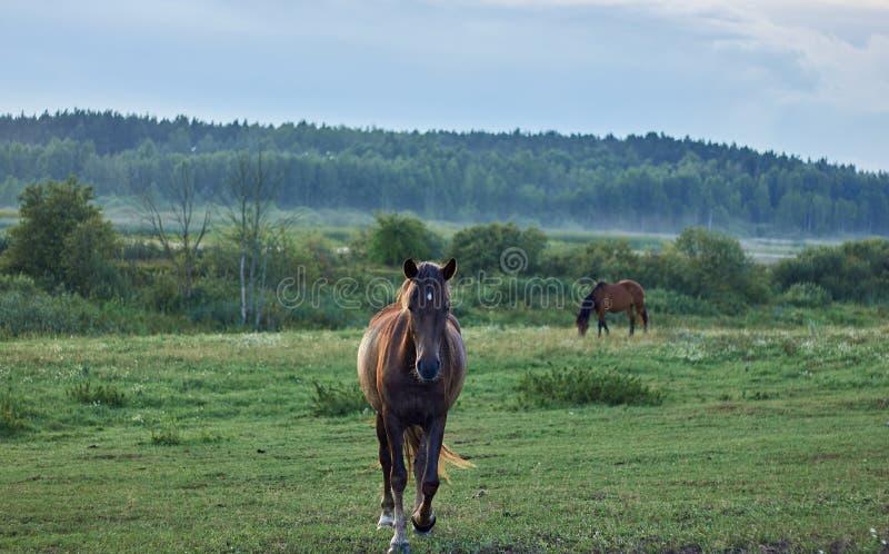 Лошадь на ходу, смотрящая в направлении камеры, и еще одна сдельно Ð²Ñ‹Ð¿Ð°Ñ стоковые изображения rf