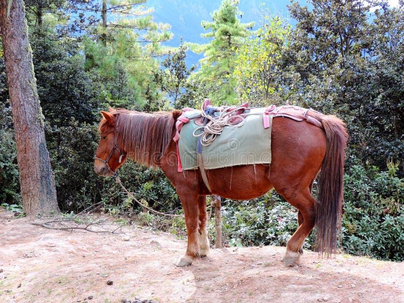 Лошадь на Paro Taktsang, Бутане, снести путешественников до верхней части для достижения виска стоковые фотографии rf