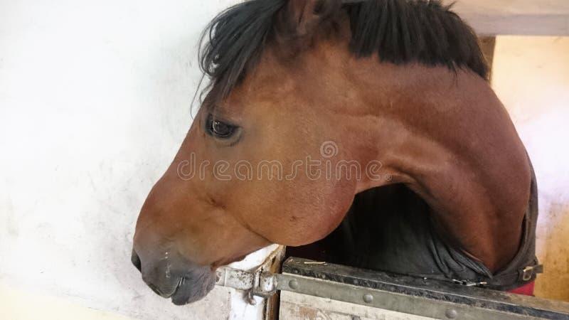лошадь Норвегия Животное Beutefull: стоковые фотографии rf