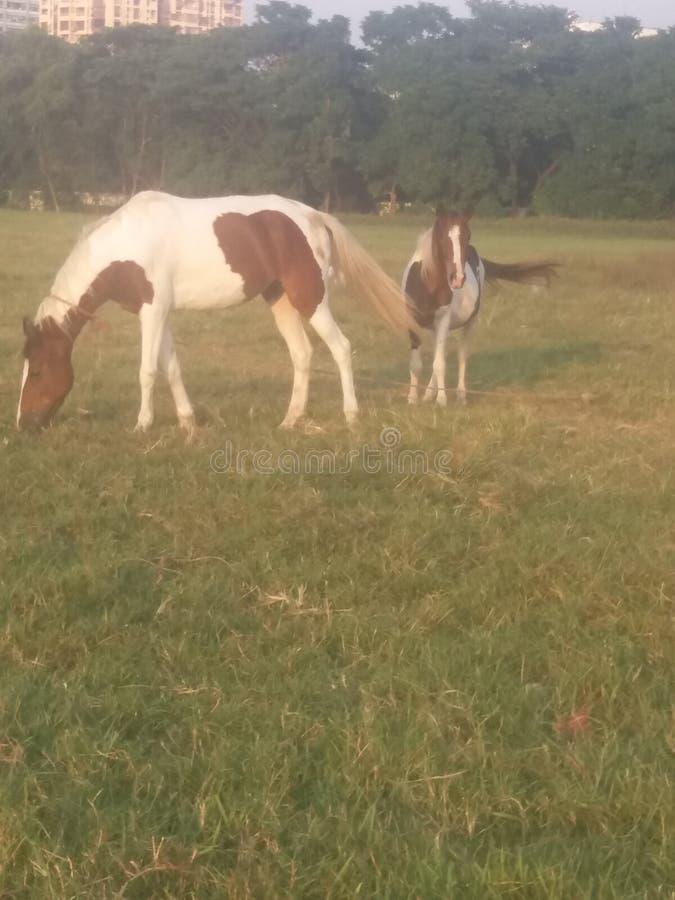 Лошадь пар стоковое фото