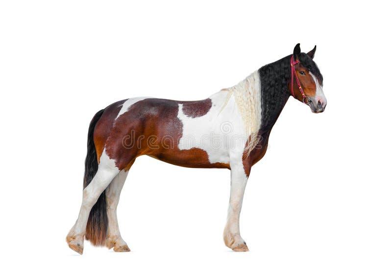 Лошадь пегой лошади цыганская стоковые изображения