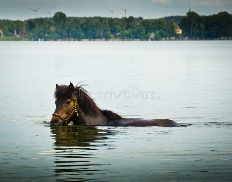 Лошадь плавает самостоятельно в большом озере и освежает в теплом солнце лета стоковые фото