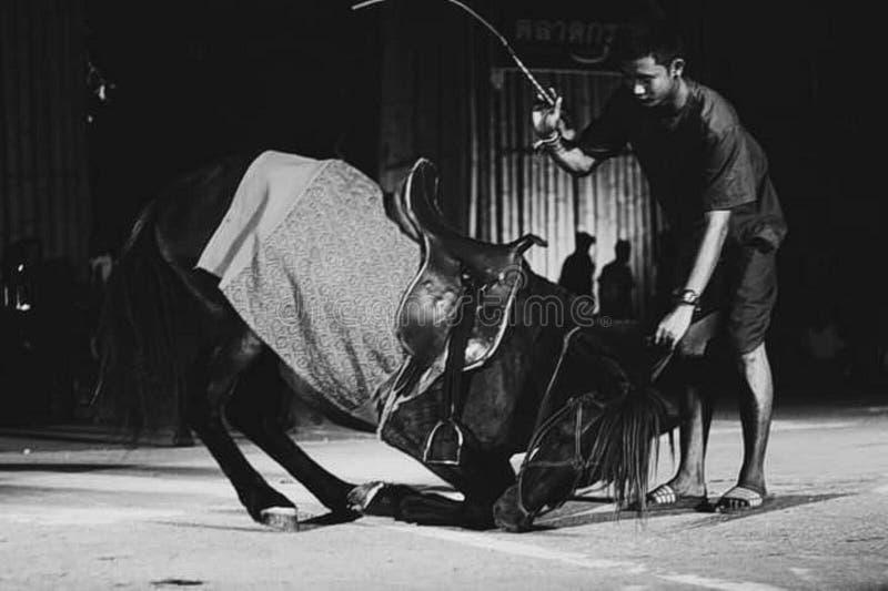 Лошадь принять смычок на шоу культуры Таиланда стоковые фотографии rf