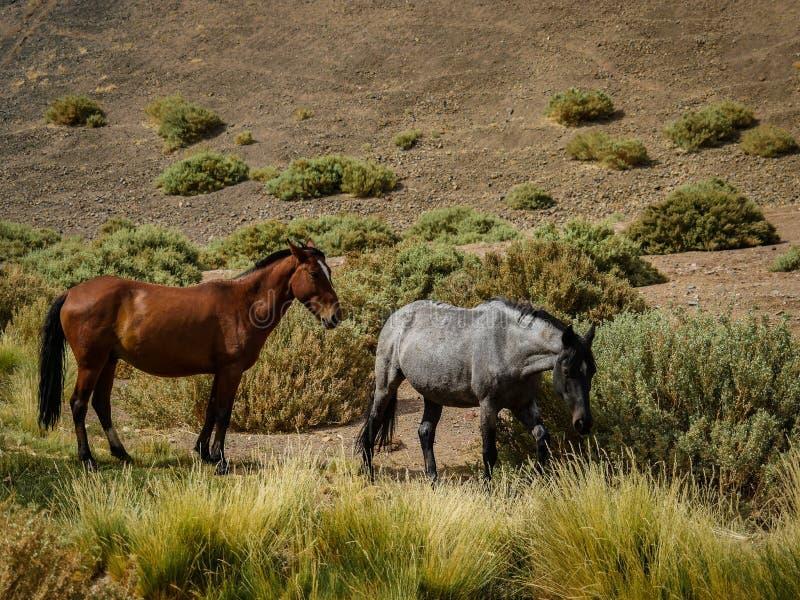 Лошадь пустыни Чили Atacama дикая стоковая фотография rf