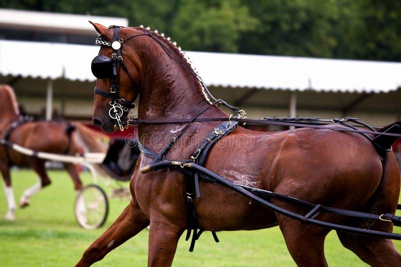 Лошадь работая на конкуренции стоковое изображение