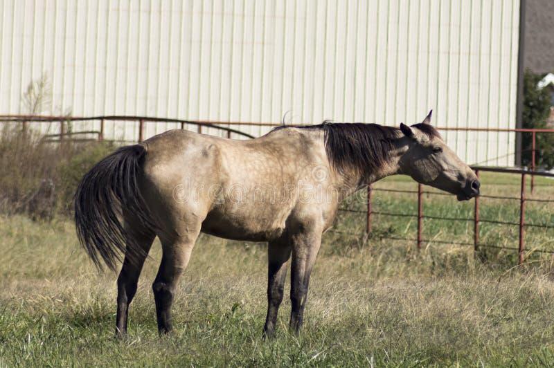 Лошадь серовато-коричневого цвета стоя в выгоне протягивая вне шею и амбар и металл развевая кабеля современный обнести предпосыл стоковые фото
