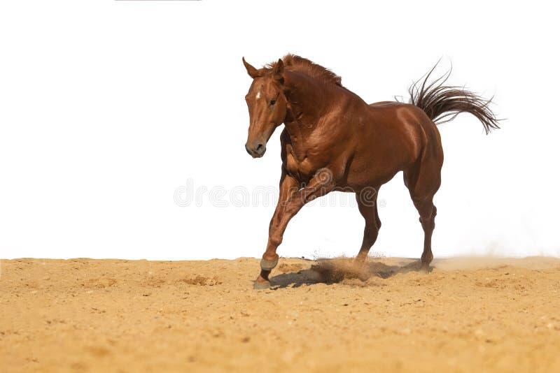 Лошадь скачет на песок на белой предпосылке стоковое изображение