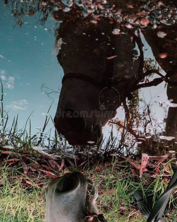 Лошадь смотря отражение стоковая фотография rf