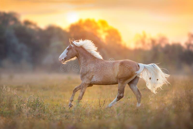 Лошадь с длинными белокурыми гривами бежит стоковые изображения