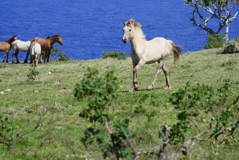 лошадь Тонга eau одичалая стоковое фото rf