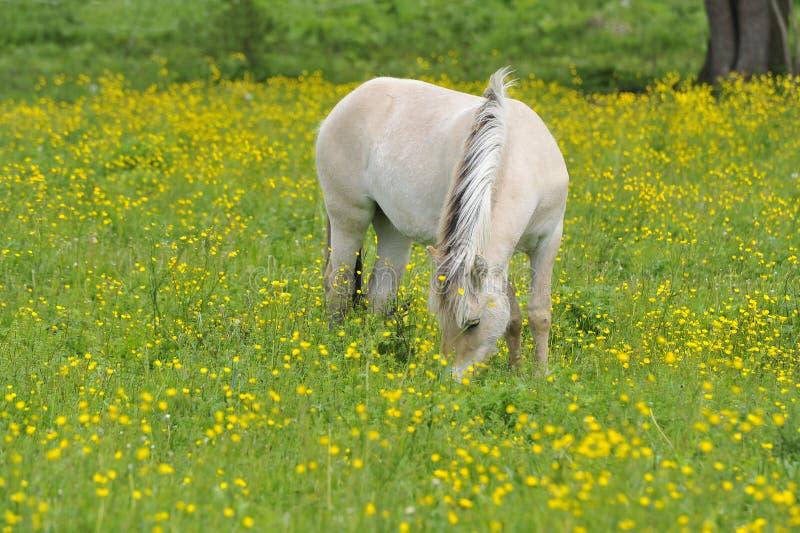 лошадь фьорда стоковое изображение