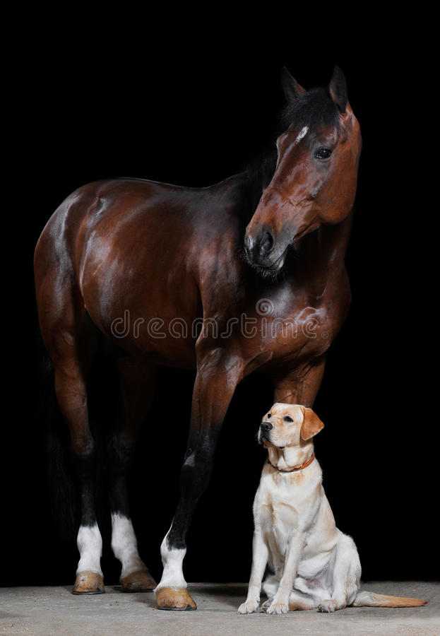 лошадь черной собаки залива предпосылки стоковая фотография rf