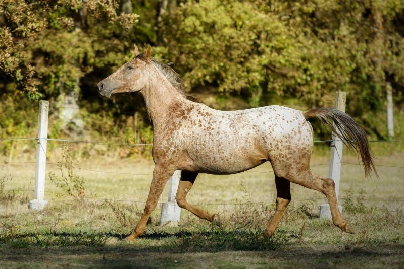 Лошадь Appaloosa идя рысью в луге под солнцем стоковое изображение rf
