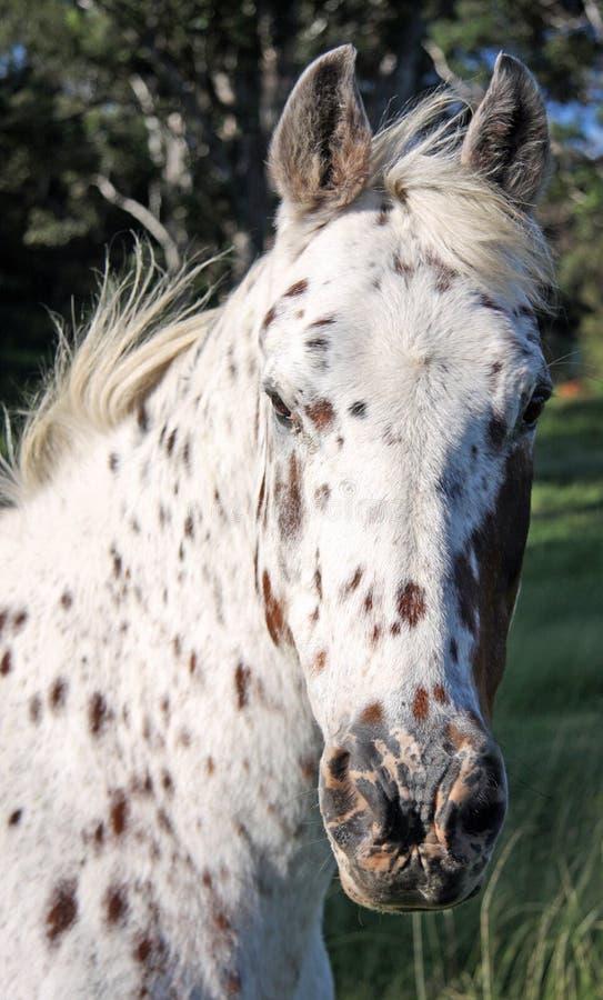 лошадь appaloosa стоковая фотография