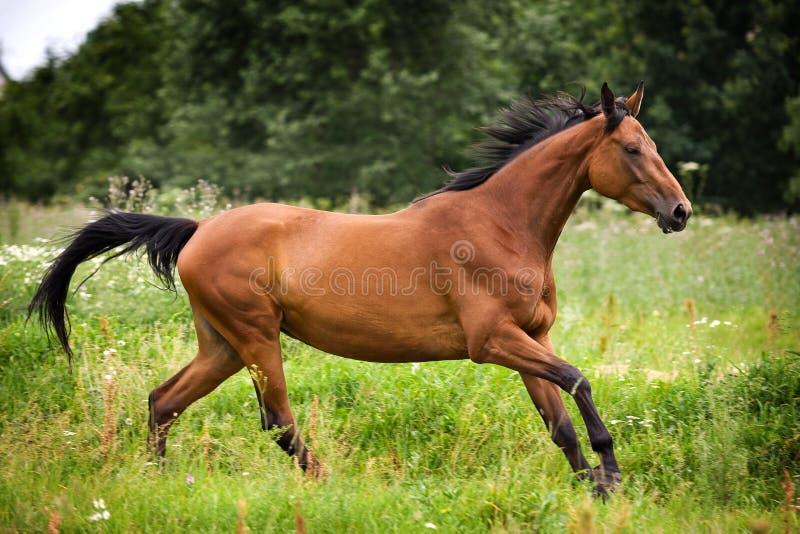 лошадь hannoveraner стоковые фотографии rf