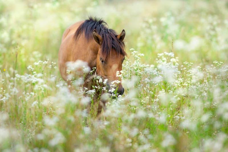 Лошадь hutsul залива стоковая фотография