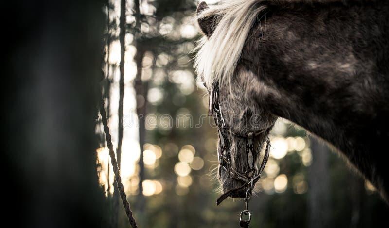Лошадь Nordland от Норвегии стоковые фото