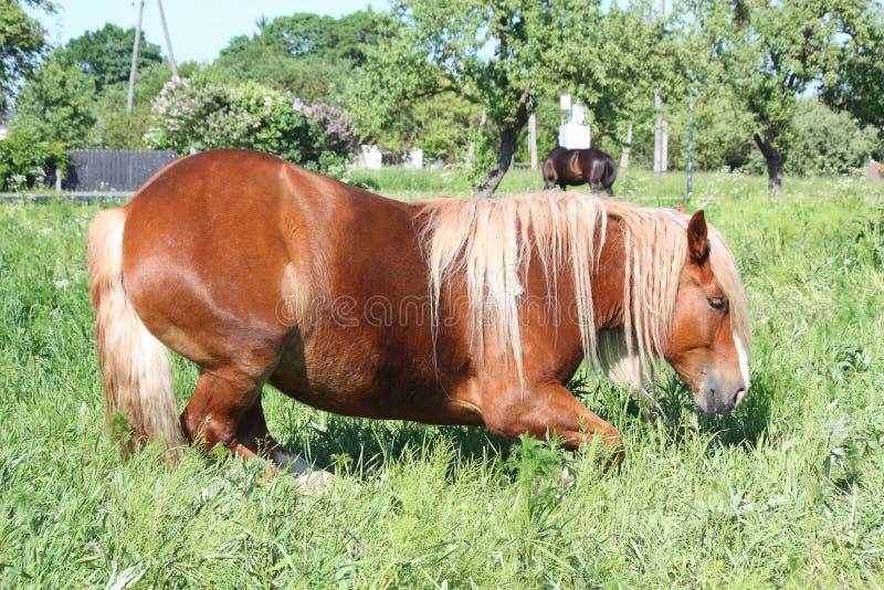 Лошадь Palomino лежа вниз на поле стоковые фото
