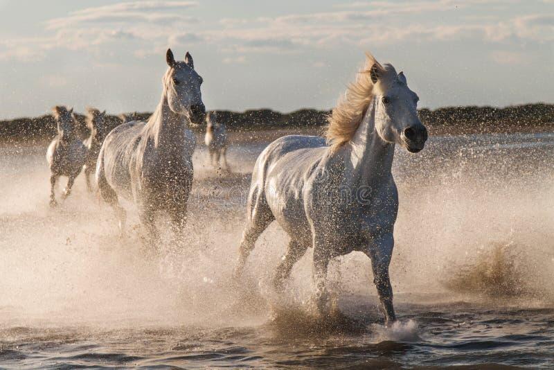 Лошади бежать в воде стоковые изображения rf