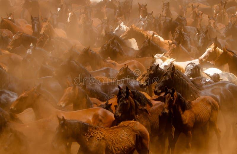 Лошади бежать в пыли стоковые фотографии rf