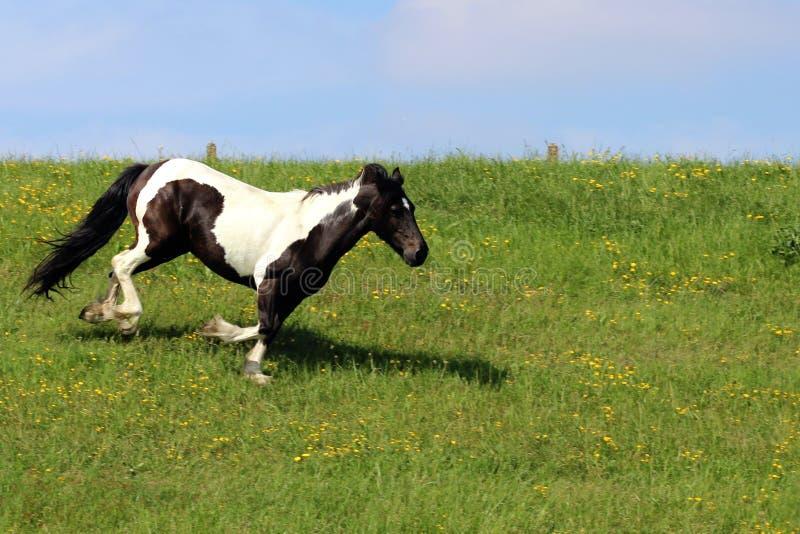 Лошади бежать на траве стоковые фото