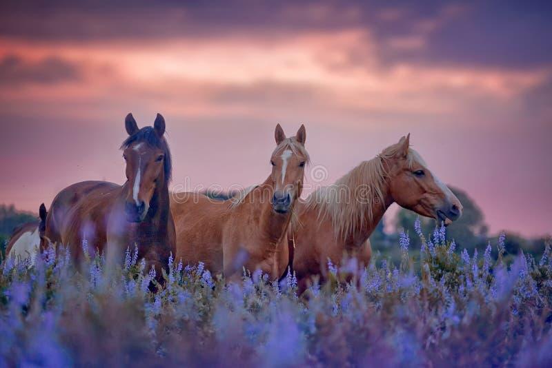Лошади в поле цветков на восходе солнца стоковые фотографии rf