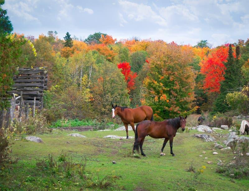Лошади в утесистой осени поля стоковая фотография rf