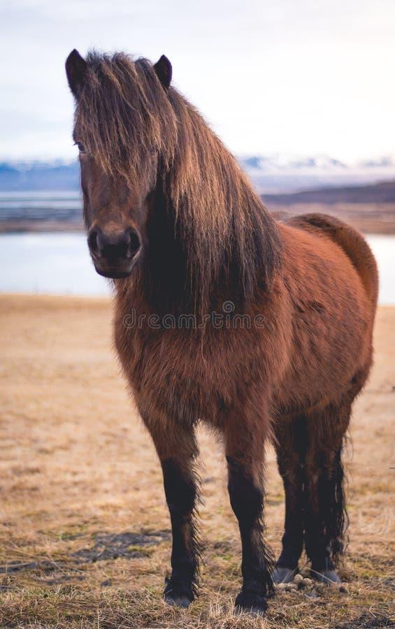 Лошади миниатюры ` s Исландии стоковое изображение
