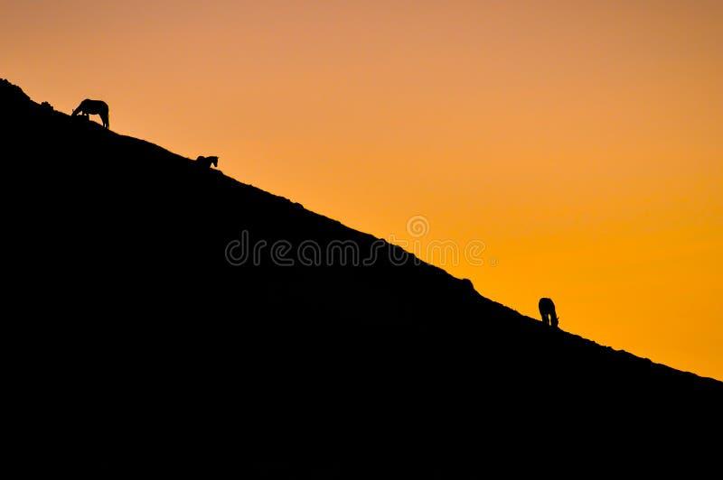 Лошади на горе на золотом заходе солнца в Кыргызстане стоковое изображение