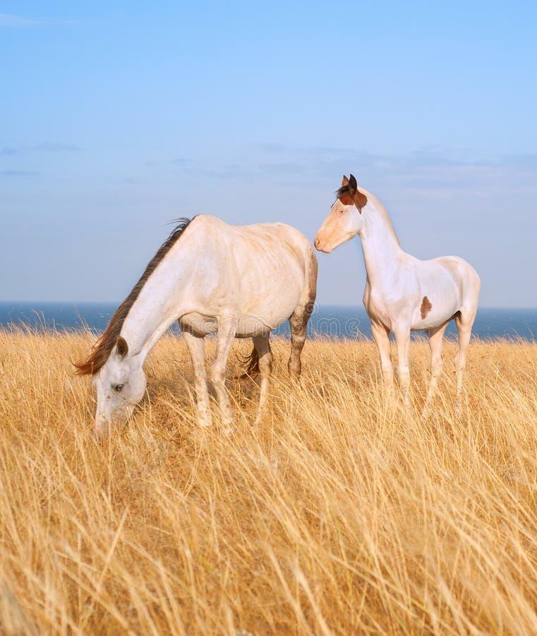 Лошади на seashore стоковое изображение rf
