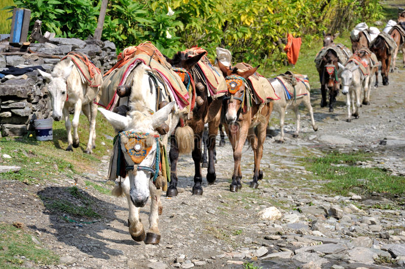 Лошади пакета в Гимале стоковая фотография rf
