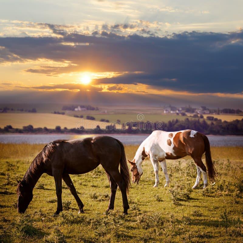 Лошади пася на заходе солнца стоковые фотографии rf