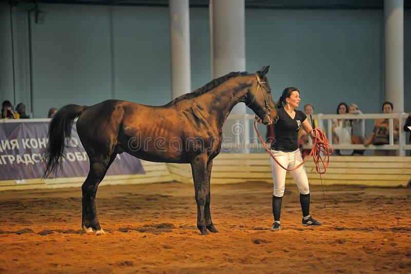 Download Лошади породы выставки редакционное фотография. изображение насчитывающей лошади - 40587292