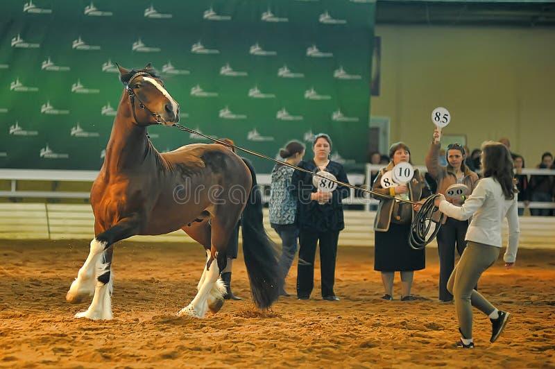 Download Лошади породы выставки редакционное фото. изображение насчитывающей дело - 40588536