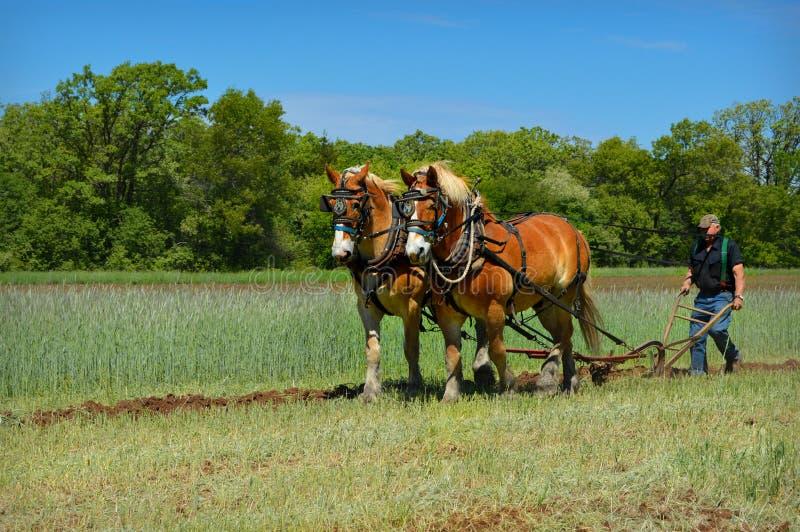 Лошади проекта вспахивая поле стоковое фото rf