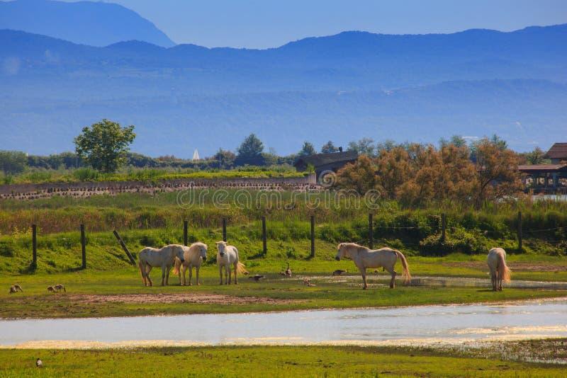 Лошади Camargue стоковая фотография