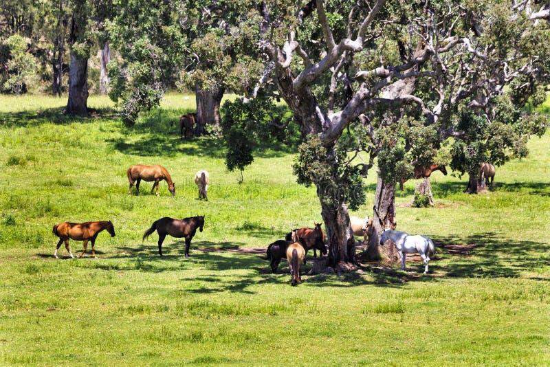 Лошади Cobark BTops стоковое фото