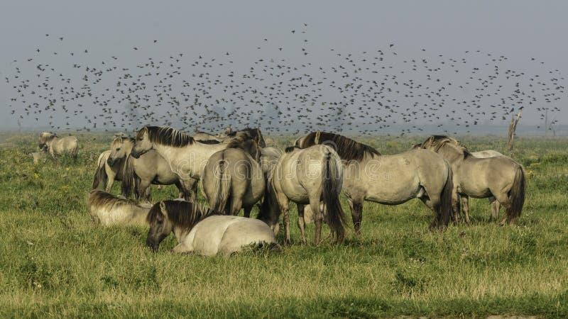 Лошади Konik совместно стоковые фотографии rf