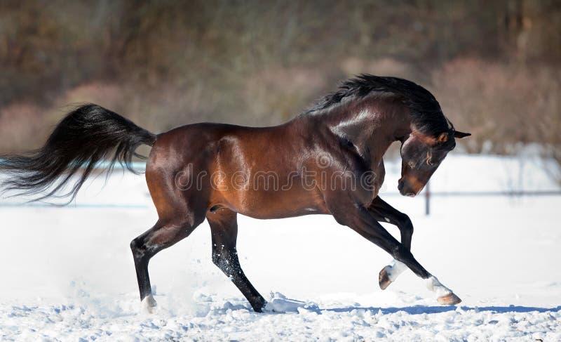 Лошадь бежать в снеге стоковые фото