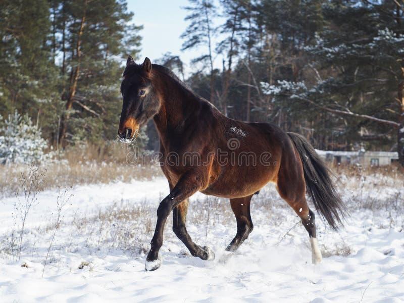 Download Лошадь бежит на снеге на предпосылке соснового леса в зиме Стоковое Фото - изображение насчитывающей гулять, головка: 81802768