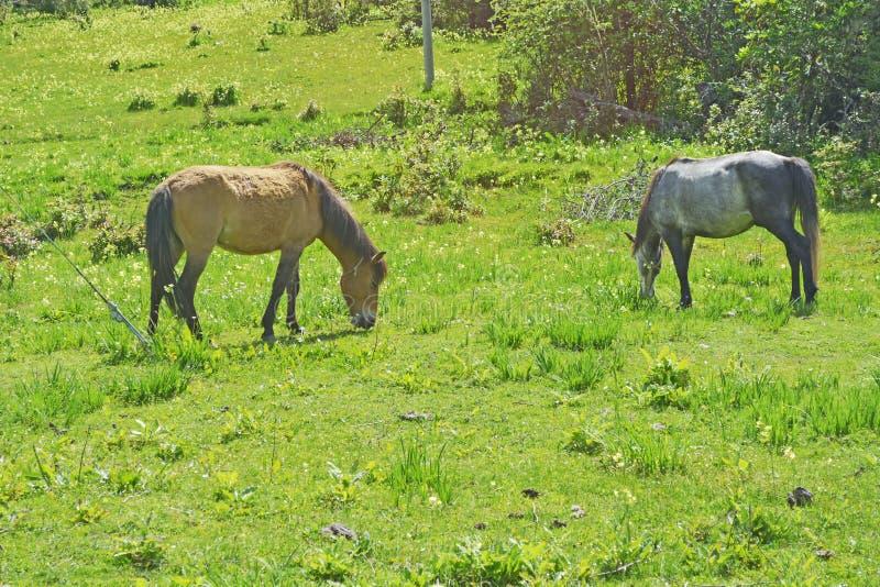Лошадь Брайна есть траву на зеленом луге стоковая фотография rf