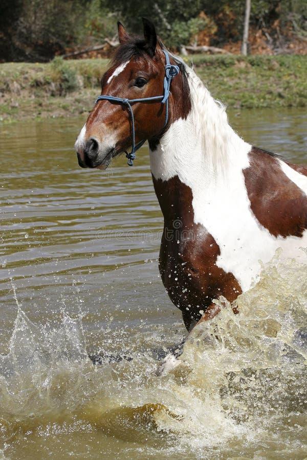 Лошадь брызгая в запруде стоковое фото rf