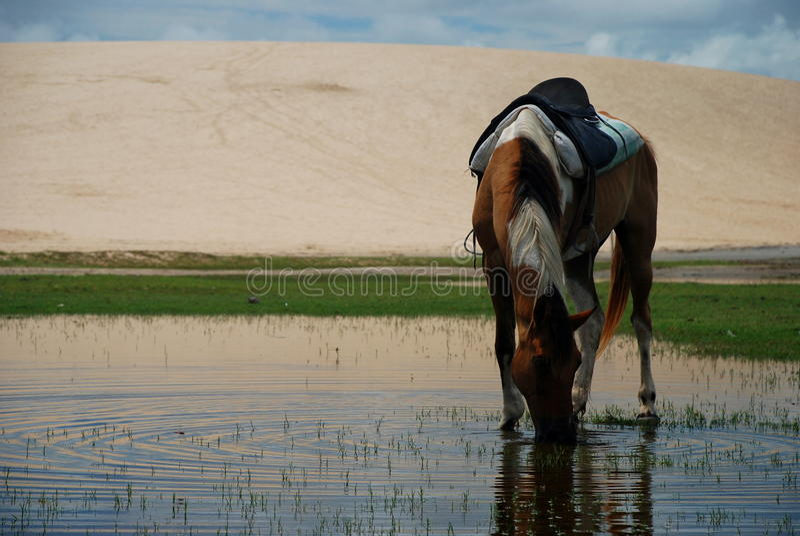 Лошадь выпивая в пруде. Jericoacoara, Бразилия стоковое фото