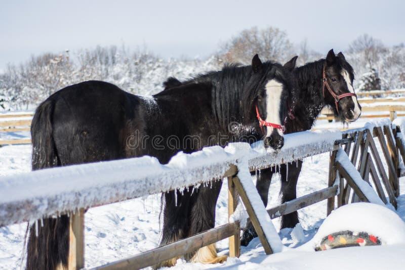 Лошадь в зиме стоковое изображение rf