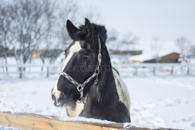 Лошадь в зиме стоковая фотография rf