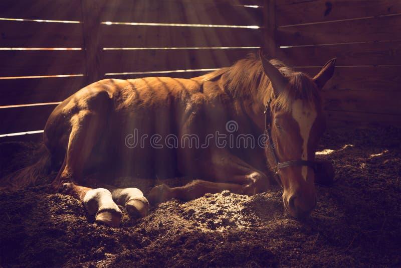 Лошадь лежа вниз в стойле стоковое фото rf