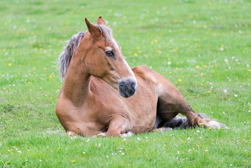 Лошадь лежа на луге стоковое изображение