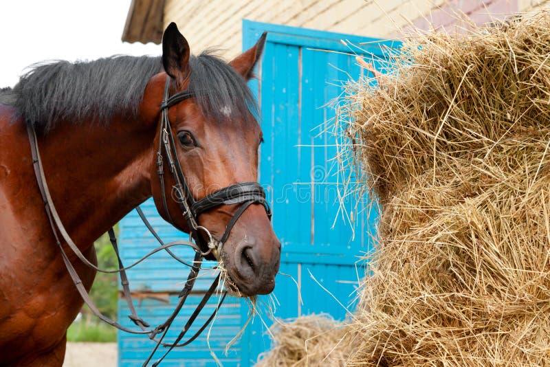 Лошадь есть сено стоковое изображение
