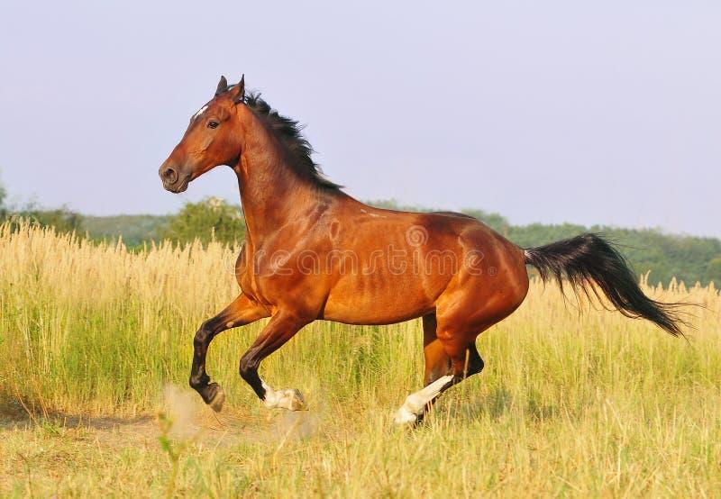 Лошадь залива бежать на поле в лете стоковое фото rf